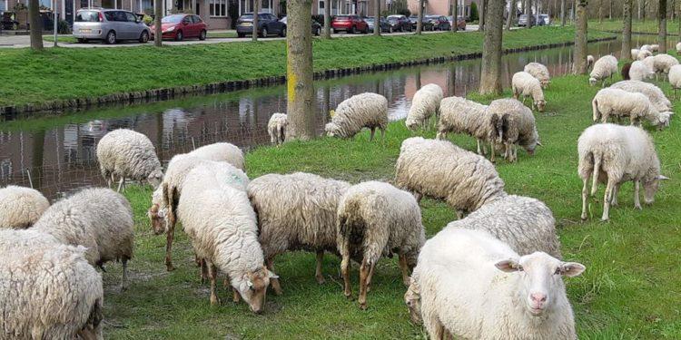 De schapen graasden al in de berm langs de IJsselweg